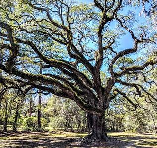 Live Oak, Dade Battlefield, Florida