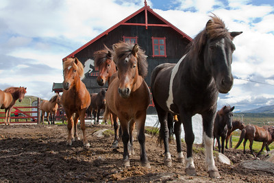 The Icelandic horses of Hjerkinn Fjellstue & Fjellridning, which takes tourists for riding in the mountains of Dovre. An easy handled and robust race perfecly suited for such trips.