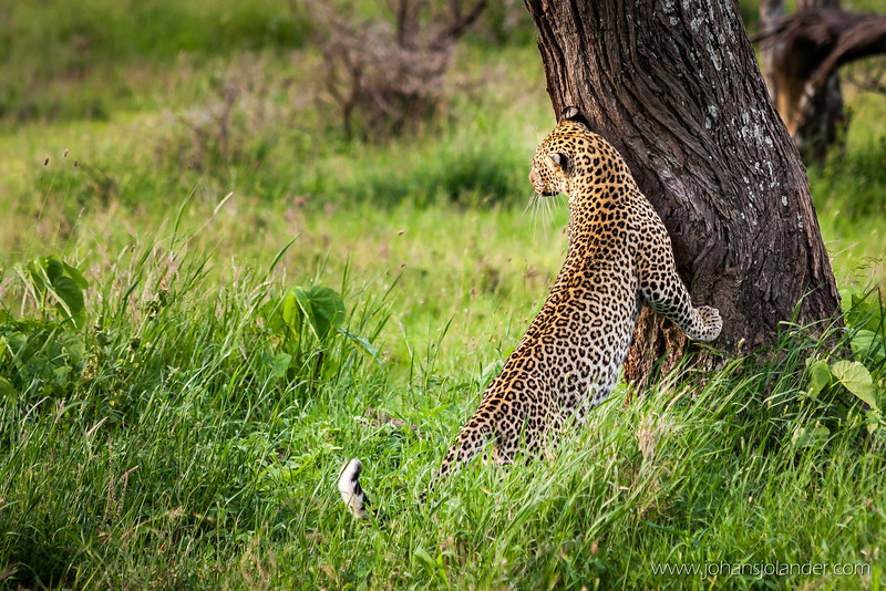 Leopard, Serengeti National Park