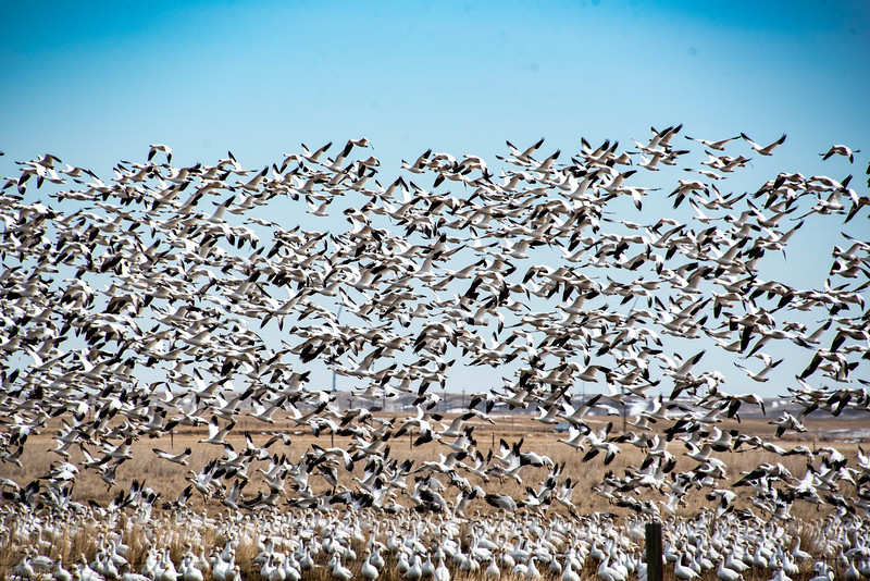 Snow geese migration, Fairfield, Montana
