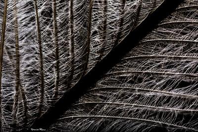 Emu Feather