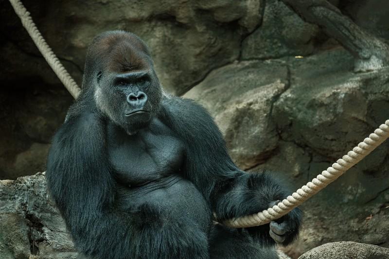 Bored Gorilla