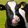 How Cows pick their noses :)
