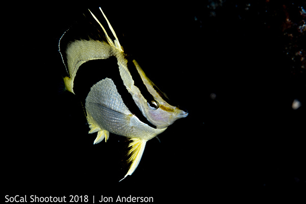 OP-NorthernScytheButterflyfish