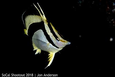 OP-NorthernScytheButterflyfish