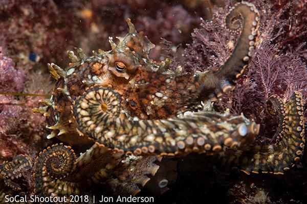 OM-CaliforniaTwoSpotOctopus