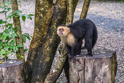 Whte Face Capuchin Monkey
