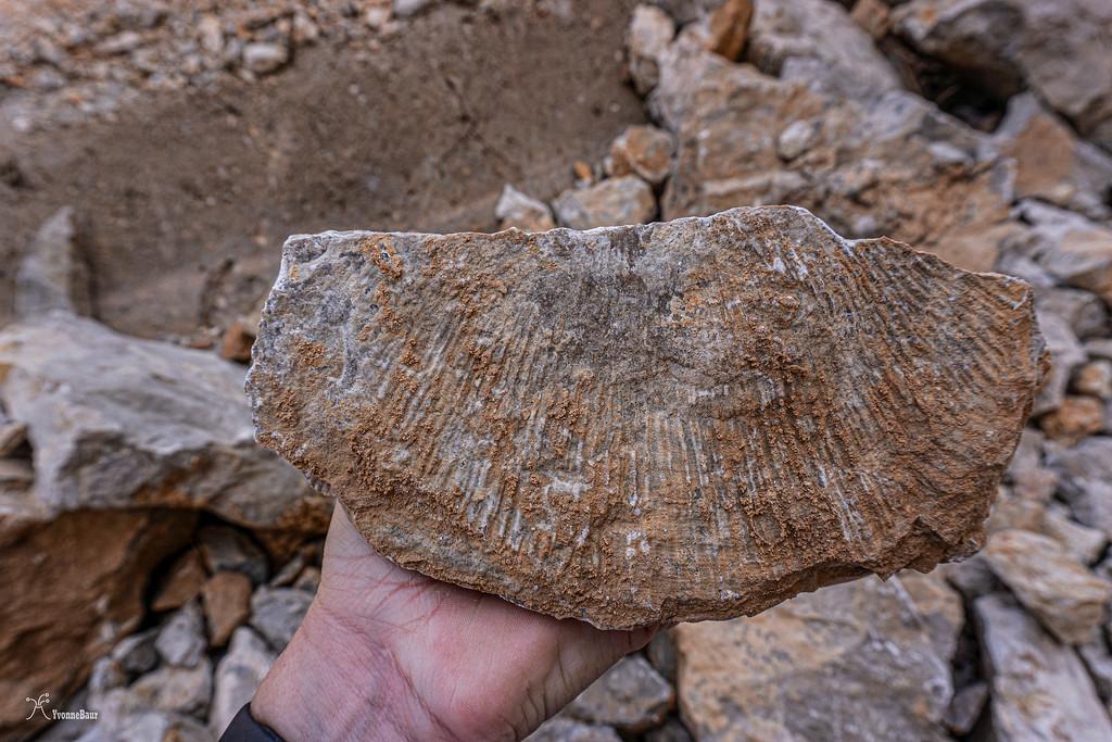 brachiopod%20fossil%20copy-XL.jpg