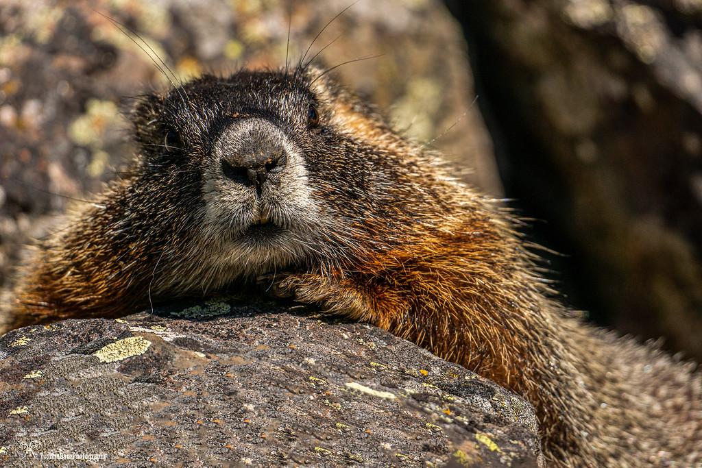 marmot%20copy-XL.jpg