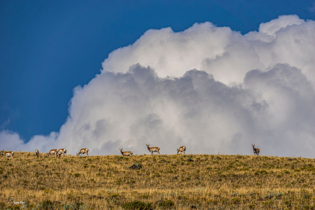 pronghorn%20and%20towering%20storm%20clouds%20copy-XL.jpg