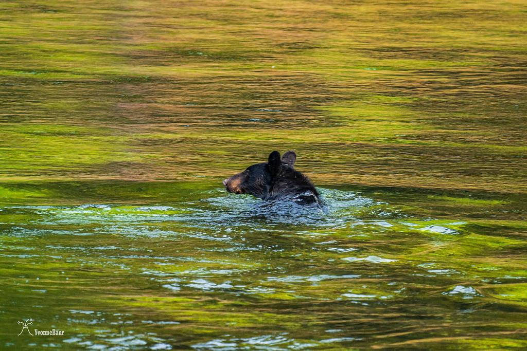 bear%20swimming%20in%20Yellowstone%20river%20copy-XL.jpg