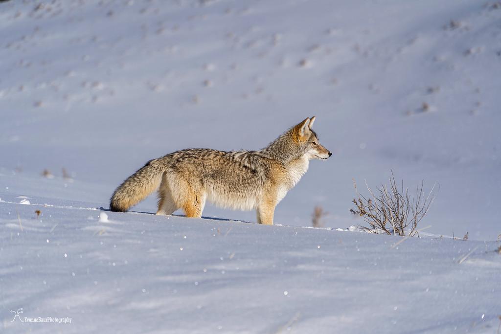coyote%20copy-XL.jpg