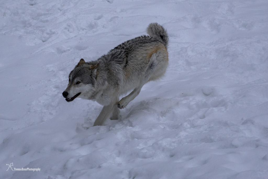 Wolf%20on%20the%20run%20copy-XL.jpg