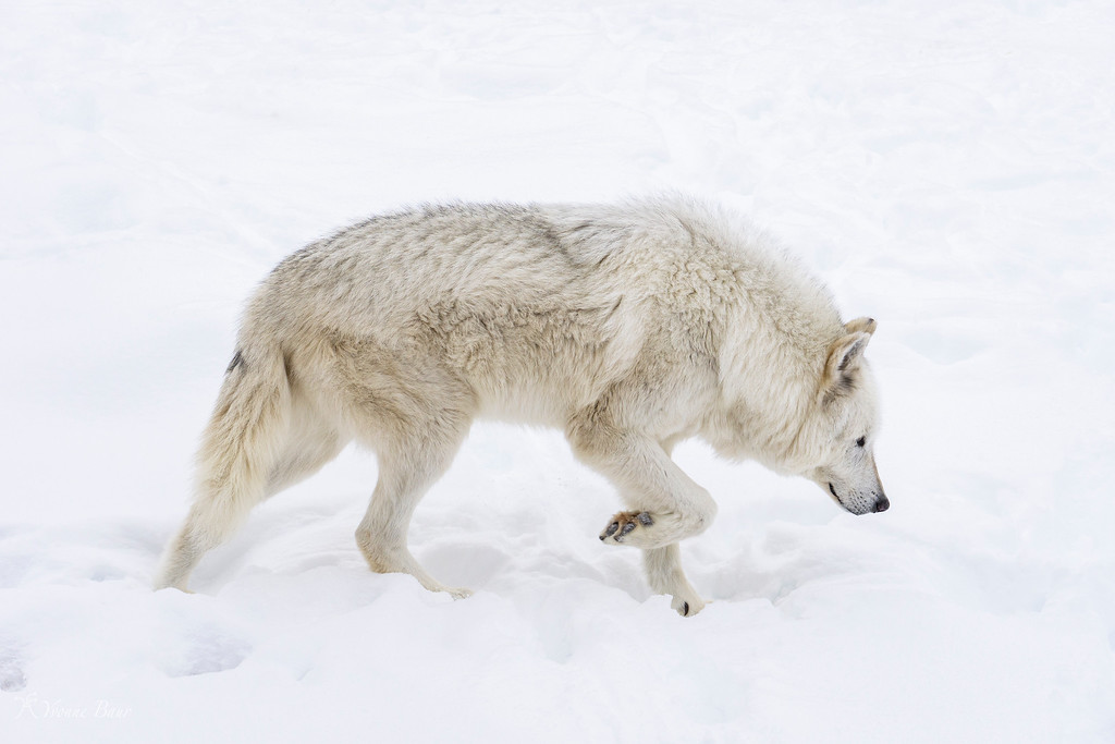 white%20wolf%20walking%20by%20copy-XL.jpg