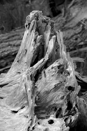 Tree stump at the Toronto Zoo. July 2009.
