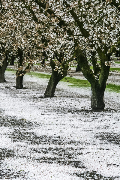Central California Snow<br /> I have lived in California's Central Valley all of my life.  I finally had my camera with me on a day the blossoms had fallen to the ground and were not yet disturbed.  To me, it is always a pretty sight.<br /> March 2006