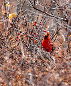 Cardinal.......