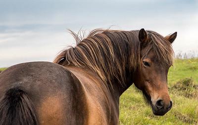 Icleandic Pony
