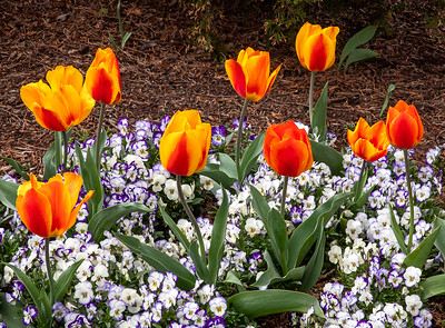 Tulips...more
