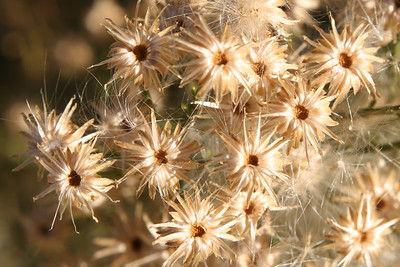 Dry Flowers from Raparian Preserve