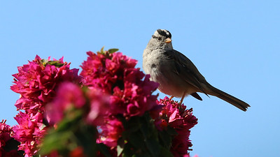 white-crowned-sparrow---7283_51037294343_o