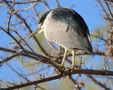 black-crowned-night-heron---7164_51033840768_o