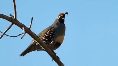 gambels-quail---6971_51029173206_o