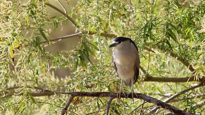 black-crowned-night-heron---7181_51032011097_o