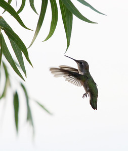hummingbird---3915_14394909327_o