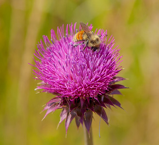 Bee gathering pollen from a thistle flower in Grand Teton National Park