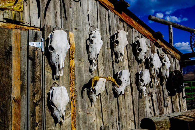 Wall of Cow skulls