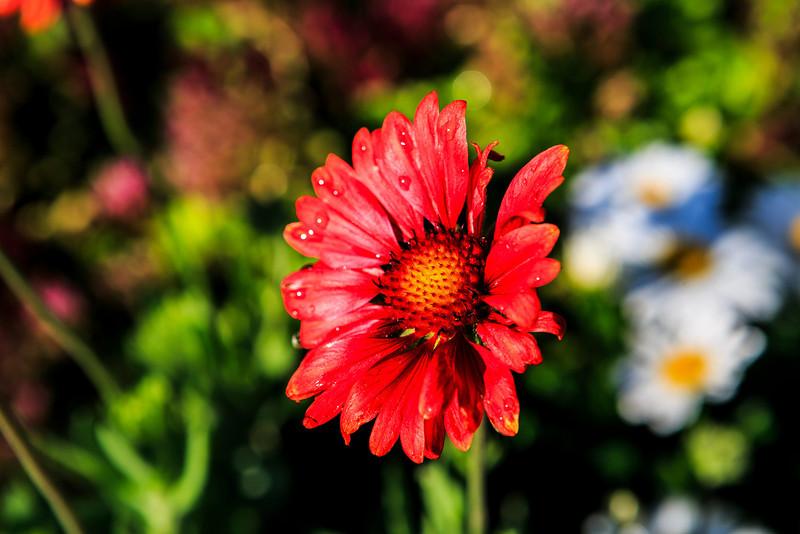 Sun Valley Flower
