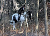 Metamora Fox Hunt-049