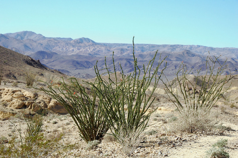 There is a lot of ocotillos in the area.