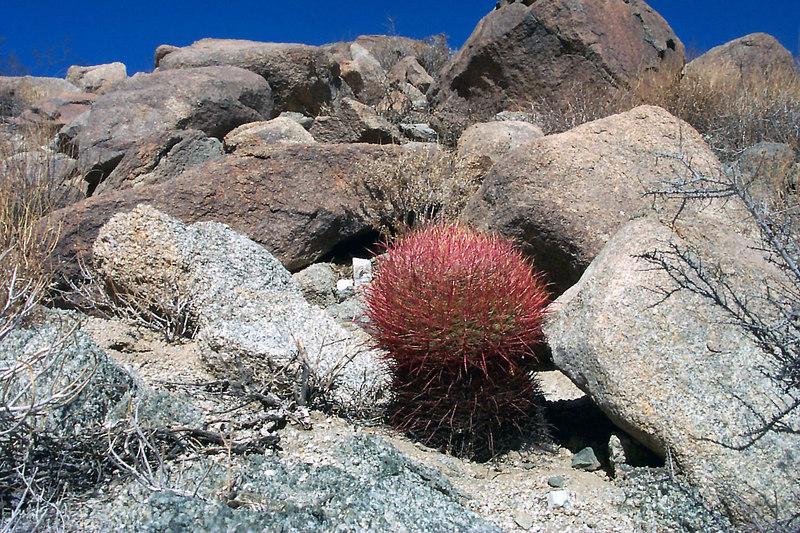 A barrel cactus.