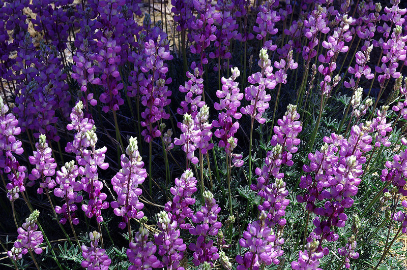 There was also a lot of lupine.