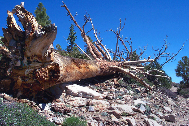 This downed tree was along side the trail.
