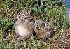 Seagull Chicks - 23 June 2011