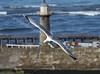 Seagull in Flight - 23 June 2011