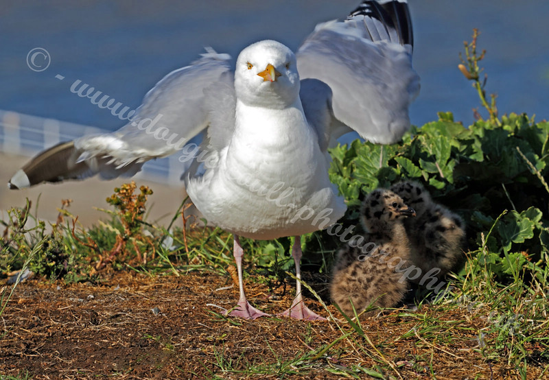 Seagull & Chicks - 23 June 2011