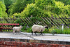 Sheep at Levisham Station