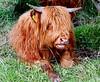 Highland Cow - Levisham - Yorkshire