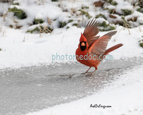 Cardinals in winter,Blue Jay and Birds