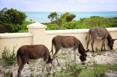 Donkeys grazing along the side of the road...