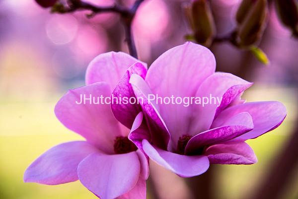 FL0005 - Magnolia Blossom