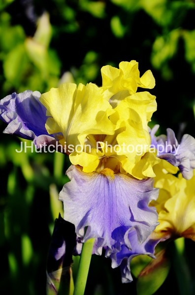 FL0006 - Purple & Yellow Iris