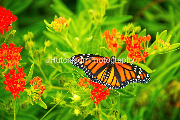 FL0001 - Monarch on Red Prairie Flower