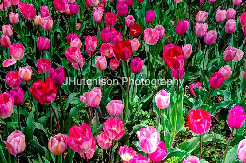 FL0009 - Tulip Time