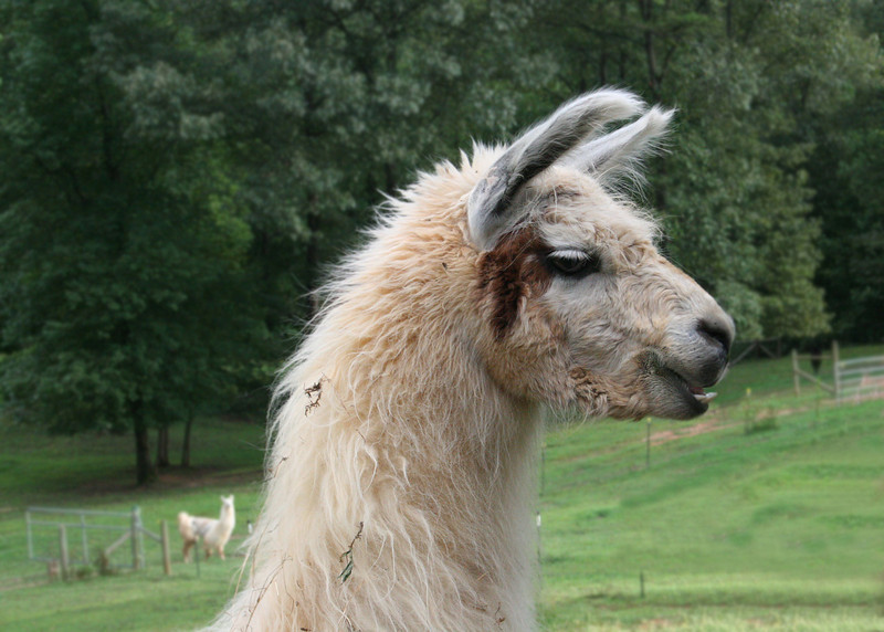 The Tri-State Business Women had this month's get together at Pam's house.  Pam raises llamas.  Isn't he handsome!