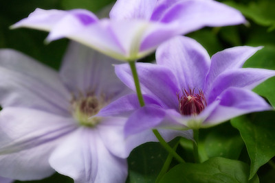 Technically this was at my aunt's house. Clematis, and tons of them :D